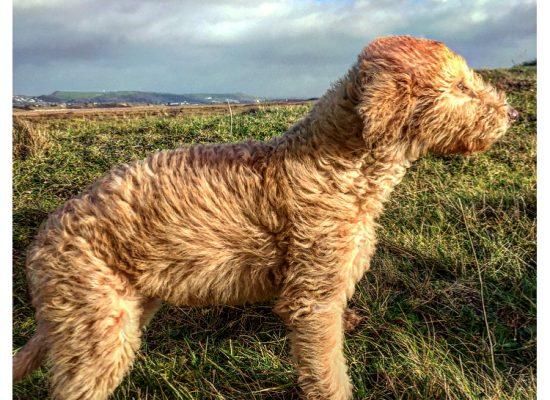 (Winter) beddlington greyhound