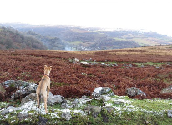 Kelpie lurcher puppy stalking sheep in the Welsh mountains