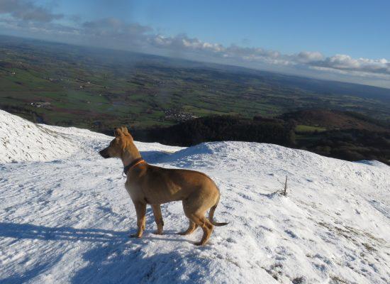 Kelpie lurcher in the Welsh mountains